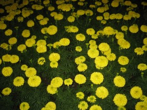 Yellow flowers supposedly bring in good luck. If the colour brightens up our day, why not?