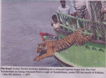 Tiger-releasedtothewilds